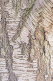 Birch tree Stock Images