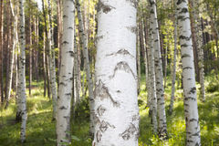 Birch Tree Closeup. In the woods Stock Photography