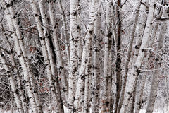 Birch tree cluster. A cluster of Birch trees in winter,with frost on the branches Stock Photos