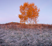 Birch tree with color leaves in the morning Stock Photo