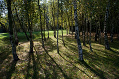 Birch tree coppice. In autumn time royalty free stock photos