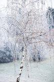 Birch tree covered with frost Stock Photography