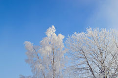 Birch tree covered by snow and hoarfrost stock photography