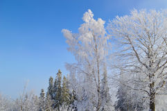Birch tree covered by snow and hoarfrost stock image