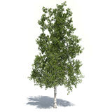 Birch tree 3d illustrated. Modeled inside 3ds max and rendered with v-ray Royalty Free Stock Photo