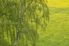 Birch tree on a dandelion field Royalty Free Stock Photography
