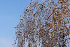 A birch tree with drooping foliage a consequence of freezing rain. The effects of the freezing rain, the aggrieved birch Royalty Free Stock Photo