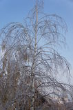 A birch tree with drooping foliage a consequence of freezing rain. The effects of the freezing rain, the aggrieved birch Royalty Free Stock Photography