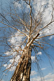 Birch tree early in the spring. royalty free stock photography