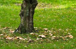 Birch tree with fairy ring. Old birch tree with fairy ring in autumn Stock Photo
