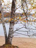 Birch Tree in Fall. Fall nature scenery of a birch tree at a lake Stock Photos