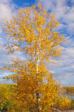 Birch Tree in Fall Colors against a blue sky Royalty Free Stock Photo