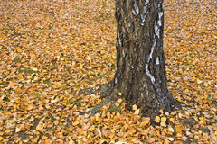 Birch Tree with fallen leaves Stock Images