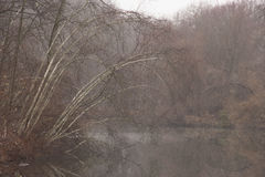 Birch tree in fog Stock Photography