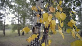 Birch tree foliage. Birch tree yellow foliage by early autumn in forest stock video footage