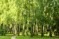 Birch tree forest. From Moscow park royalty free stock images