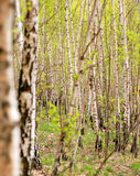 Birch tree forest. A view of a young birch tree forest in early spring royalty free stock photography