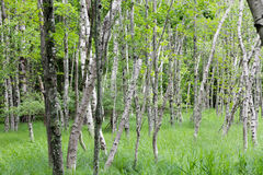Birch Tree Forest Stock Photos