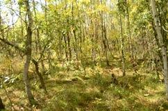 Birch tree forest in Autumn in Assiniboine Forest, Winnipeg, Manitoba stock image