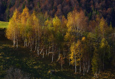 Birch tree forest in autumn Stock Photo