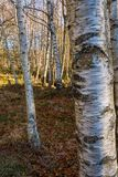 Birch tree forest. Beautiful white trees and ground covered with leaves royalty free stock photo