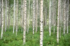 Birch Tree Forest, Finland Stock Images