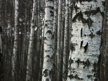 Birch tree forest Stock Image