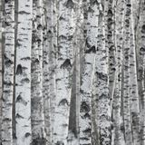 Birch Tree Forest Large Background Stock Photos
