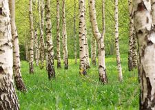 Birch tree forest in morning Stock Photos