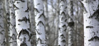 Birch tree forest, natural background, birchwood Royalty Free Stock Photo