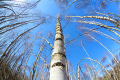 Birch tree forest over blue sky via fisheye Royalty Free Stock Photography