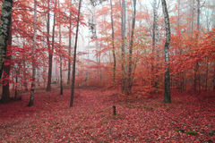 Birch tree forest. Red birch tree forest in the autumn royalty free stock photo