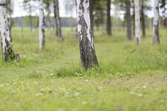 Birch tree forest in soft light. Green summer grass, peaceful photo Royalty Free Stock Photo