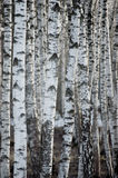 Birch Tree Forest At Spring, Large Detailed Vertical Background Closeup Stock Images