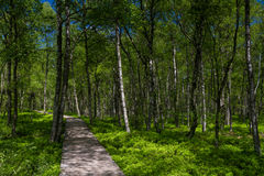 Birch tree forest in spring at a marsh Stock Photo