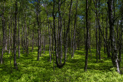 Birch tree forest in spring at a marsh Royalty Free Stock Photos