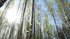 Birch tree forest in springtime. Slider shot of a sunny birch tree forest in springtime stock video footage