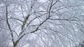 Birch tree in frost Stock Photo