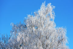 Birch tree in frost Stock Images