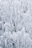 Birch Tree Frozen royalty free stock image