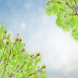 Birch tree in garden Royalty Free Stock Images