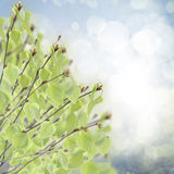 Birch tree in garden Stock Image