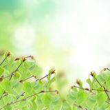 Birch tree in garden Stock Photo