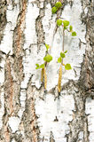 Birch tree with green leaves Royalty Free Stock Images