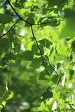 Birch tree. Green leaves, nature royalty free stock images