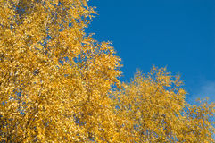 Birch tree with green yellow leaves fall Stock Photo
