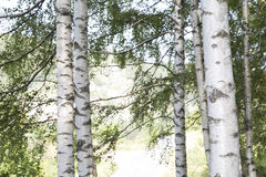 Birch Tree Group Stock Image