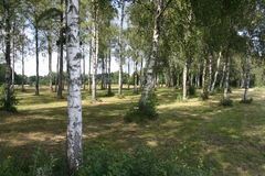 Birch-tree grove. A romantic grove of birch-trees Royalty Free Stock Photography