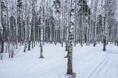 Birch tree grove. Stock Photos