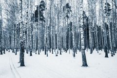 Birch tree grove. Stock Images